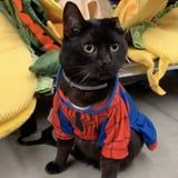 This Cat Owner's Commentary While Her Kitty Tries on Halloween Costumes Is Purrrrfection