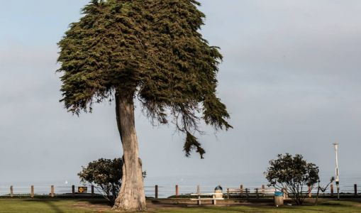 Tree that inspired Dr. Seuss' The Lorax falls over