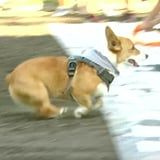 I Break Out in a Huge Grin Anytime I *Think* About This Adorable Corgi Race